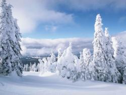 Ели в снегу