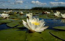 Водные лилии на озере